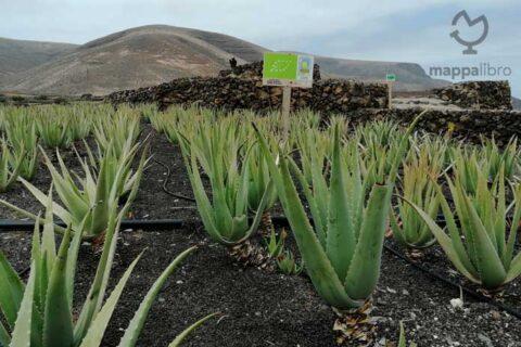 Piantagione di Aloe